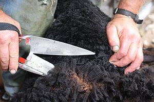 Blade shearing - A blade shearer at work on a black sheep