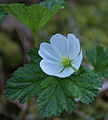 Cloudberry flower (2561362864).jpg