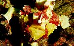 Clown frogfish2.jpg