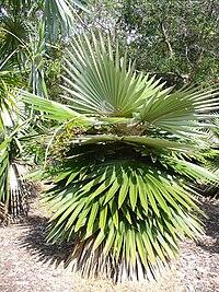 Coccothrinax borhidiana
