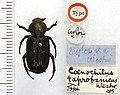 Coenochilus taprobanicus (Westwood, 1874).jpg