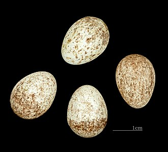 Bananaquit - Eggs of Coereba flaveola MHNT