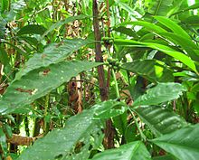 Coffea arabica01.jpg