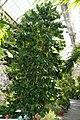 Coffea arabica 31zz.jpg