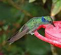 Colibri thalassinus, the Green Violetear (12711470504).jpg