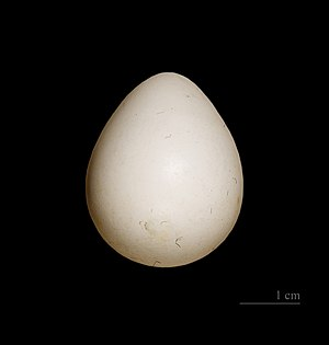 Northern bobwhite - Egg