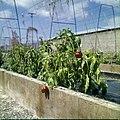 Collectie Nationaal Museum van Wereldculturen TM-20029588 Het kweken van paprika Aruba Boy Lawson (Fotograaf).jpg