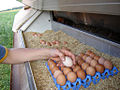 Collecting eggs on an organic farm.jpg