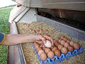 Collecting eggs on an organic farm.jpg