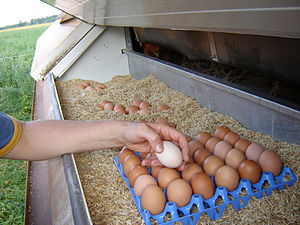 Collecting eggs from a chicken coop at an orga...