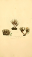 Coloured Figures of English Fungi or Mushrooms - t. 156.png
