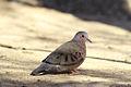 Columbina passerina -near Salton Sea, California, USA-8.jpg