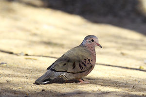 Common ground dove - near Salton Sea, California, US