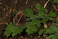 Common Bush Brown - Bicyclus safitza?, Gorongosa National Park, Mozambique (27747422867).jpg
