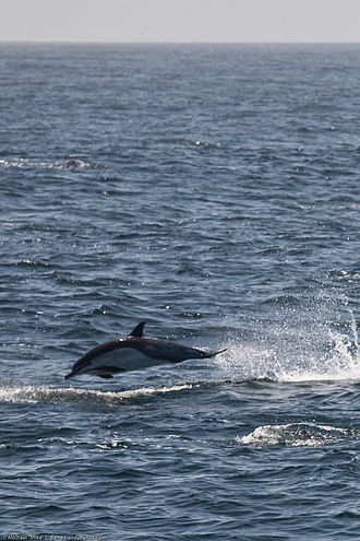 Common dolphin - A Common Dolphin jumping off Morro Bay Nature Reserve