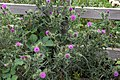Common Thistle - geograph.org.uk - 197871.jpg