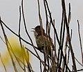 Common Whitethroat singing. Sylvia communis (38456654745).jpg