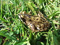 Common frog (Rana temporaria), Sandy, Bedfordshire (5821149627).jpg