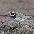 Common ringed plover, Charadrius hiaticula, at Marievale Nature Reserve, Gauteng, South Africa (44878738674).jpg