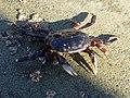 Common rock crab 01.jpg