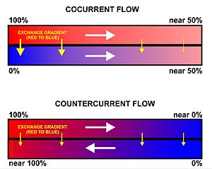 Gas exchange - Fig. 2.  A comparison between the operations and effects of a cocurrent and a countercurrent flow exchange system is depicted by the upper and lower diagrams respectively. In both it is assumed (and indicated) that red has a higher value (e.g. of temperature or the partial pressure of a gas) than blue and that the property being transported in the channels therefore flows from red to blue. Note that channels are contiguous if  effective exchange is to occur (i.e. there can be no gap between the channels).