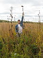 Compass plant in northeast Illinois.jpg
