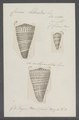 Conus litteratus - - Print - Iconographia Zoologica - Special Collections University of Amsterdam - UBAINV0274 086 02 0011.tif