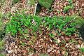Convallaria majalis in nature reserve Skocicky hrad in spring 2013 (1).JPG
