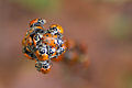 Convergent Lady Beetles, Uvas canyon CA.jpg