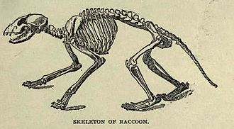 Raccoon - Skeleton