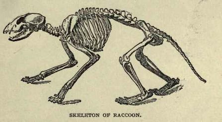 Coonskeleton
