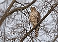 Cooper's hawk (immature) 12th and T DC (15418414003).jpg