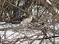 Cooper's hawk feeding on a blue jay 20.jpg