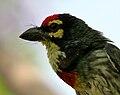 Coppersmith Barbet (Megalaima haemacephala) calling in Hyderabad W2 IMG 8295.jpg