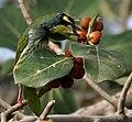 Coppersmith Barbet (Megalaima haemacephala) feeding on Ficus benghalensis W IMG 4356.jpg