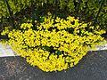 Corbeille d'or (Alyssum saxatile) (2).JPG
