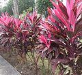 Cordyline fruticosa Rubra (cropped).jpg