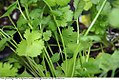 Coriandrum sativum 6zz.jpg