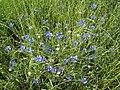 Cornflower - panoramio.jpg