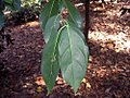 Cornus angustata 1zz.jpg