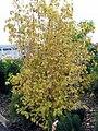 Cornus sanguinea Midwinter Fire 0zz.jpg