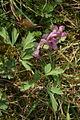 Corydalis cava PID755-1.jpg