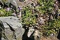 Corydalis linstowiana 01.jpg