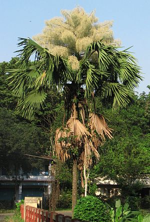 Corypha umbraculifera - Talipot palm flowering at Kerala, India