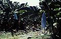 Costa Rica Bananeraie Vers Tortugero 081999 - panoramio.jpg