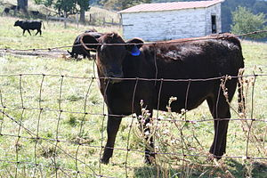 Highland County, Virginia - Cattle near Blue Grass