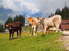 Cows on Ehrwalder Alm 3.jpg