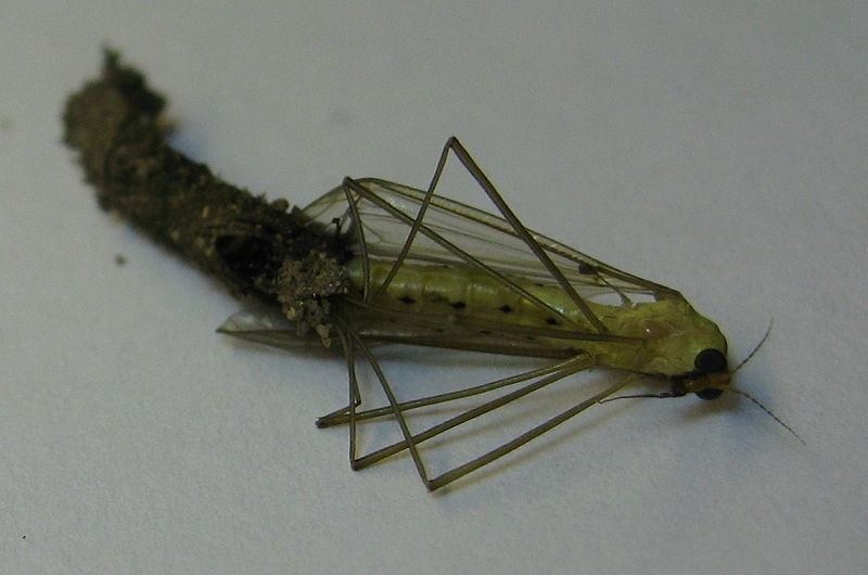 File:Cranefly molting (5) 6june2014.jpg