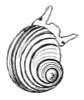 black-and-white drawing of dorsal view of snail