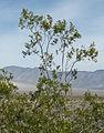 Creosote-bush Larrea tridentata tall-silhouette.jpg